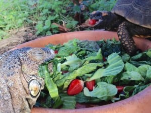 tortoise iggy dome breakfast