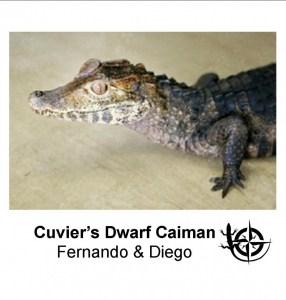 Cuvier's Dwarf Caiman