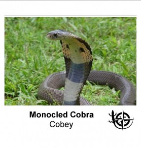 Monocled Cobras