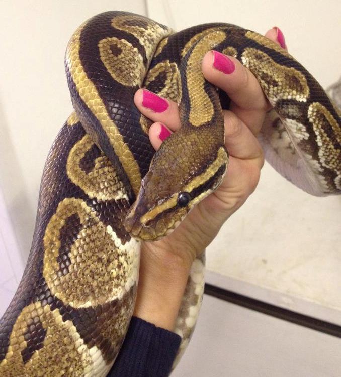 Royal Python Rafiki