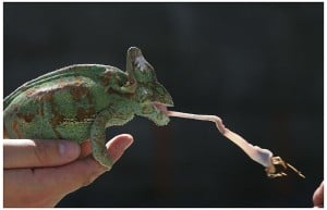 chameleon tongue cricket