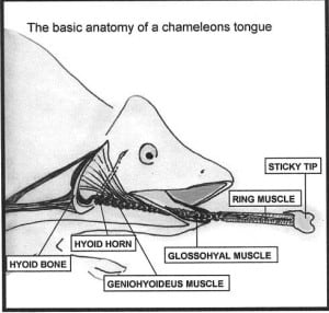 tongue anatomy chameleon